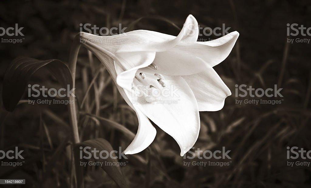 Weiße Lilie in sepia Lizenzfreies stock-foto