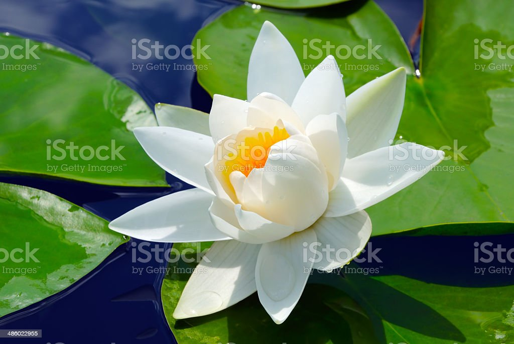 White lily in the blue water stock photo