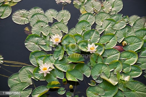 White lily and green leaves in the pond, dark water