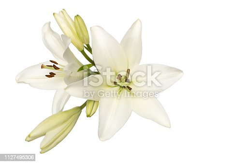two flowers and unblown buds of white lily isolate without shadows top view