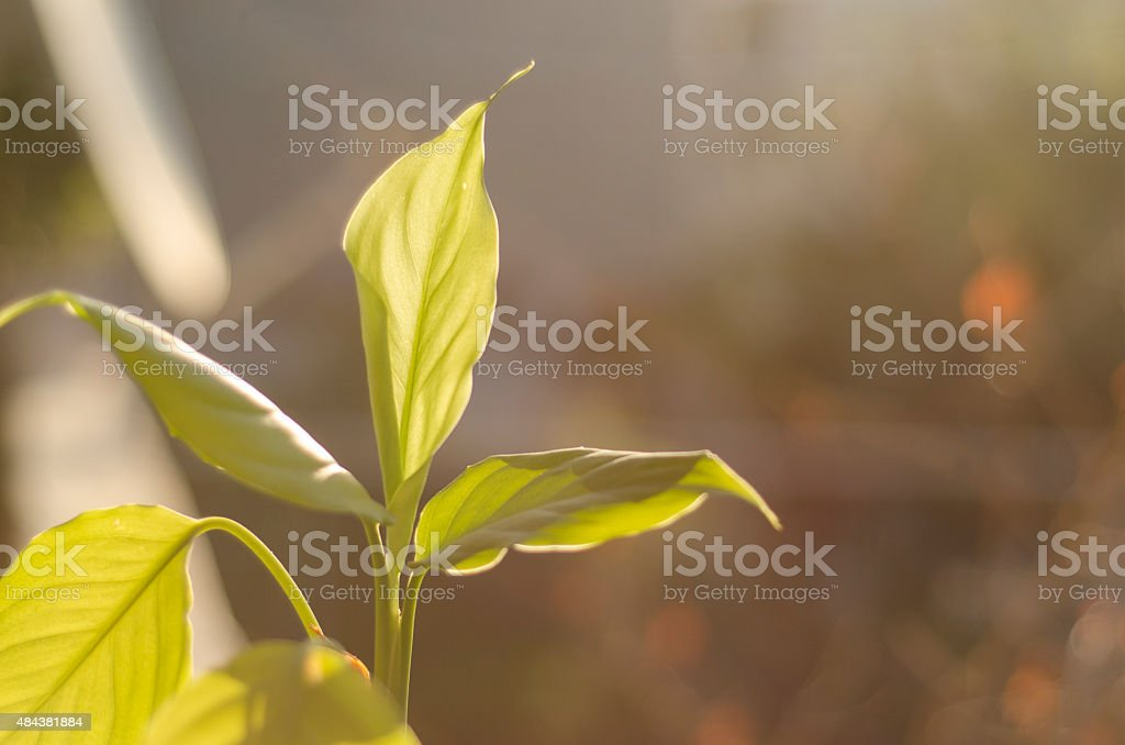 white lily leaf stock photo