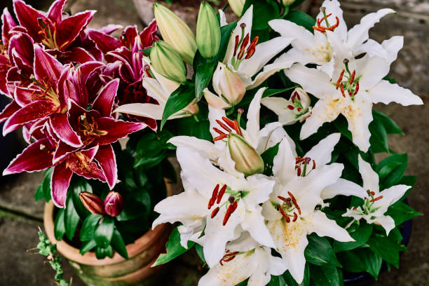 White Lily Luzia and red Lily Sunny Grenada. stock photo