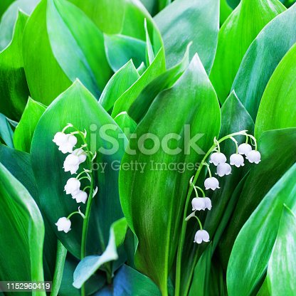 istock White lily of the valley flowers on green leaves blurred background close up, may lily flower macro, Convallaria majalis in bloom, beautiful spring or summer nature floral blossom design, copy space 1152960419