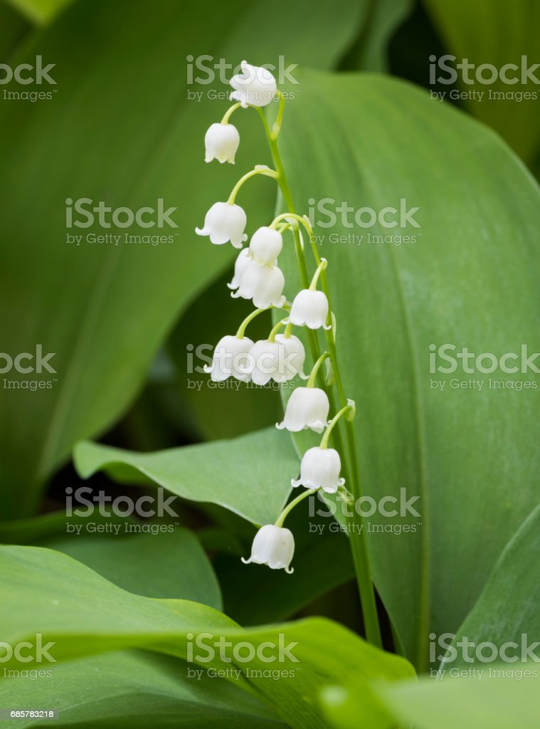 White Lily of the Valley Flowers royalty-free stock photo