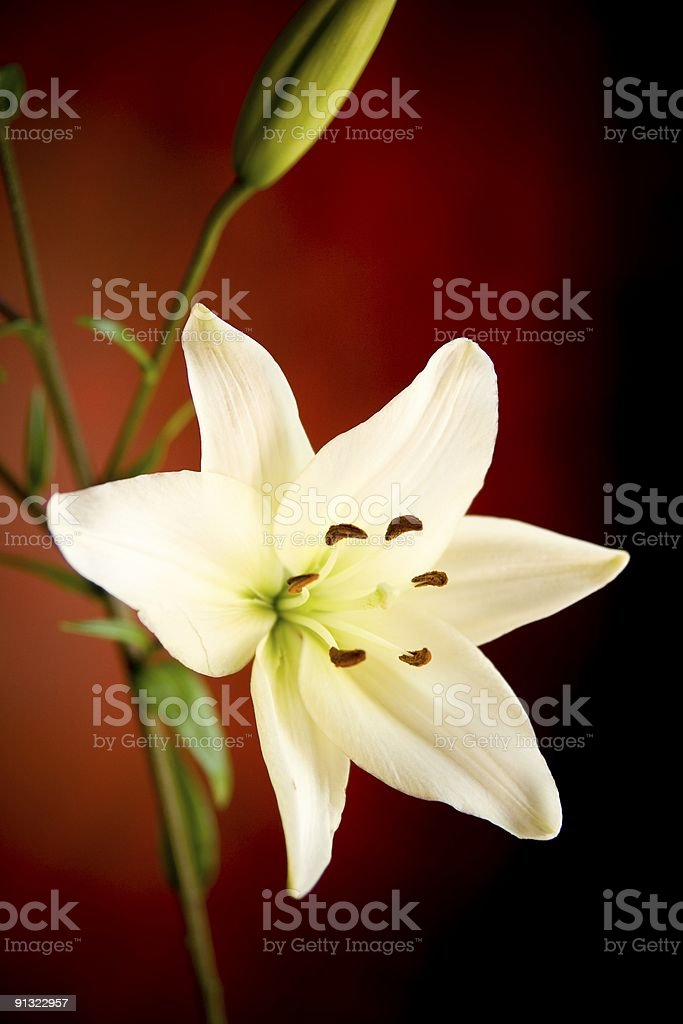 White Lily on Red and Black royalty-free stock photo