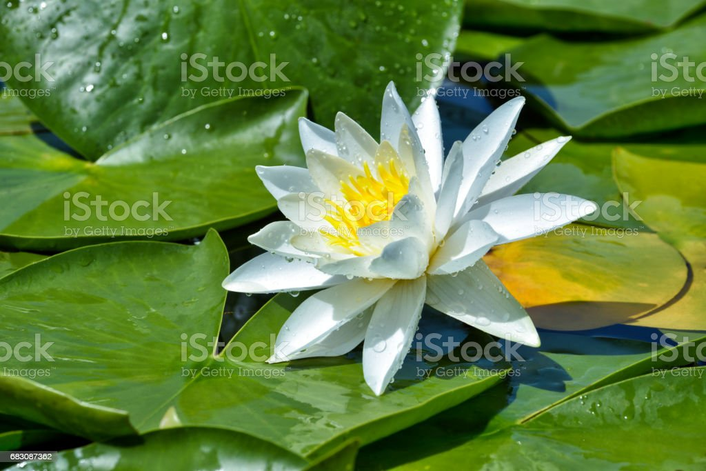 White lily on the lake among green leaves stock photo