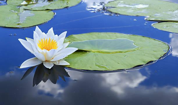 weiße seerose - wasserlilien stock-fotos und bilder
