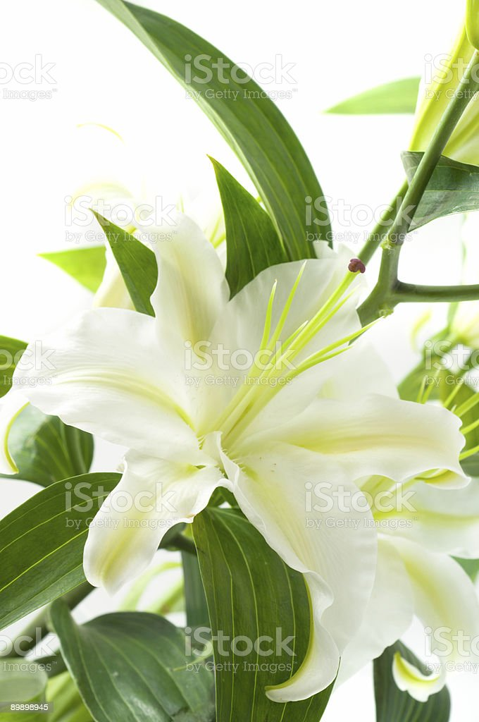 White lily. royalty-free stock photo