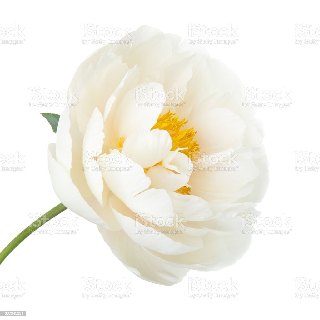 White lily prominent peony flower isolated on white background stock white lily prominent peony flower isolated on white background royalty free stock photo izmirmasajfo