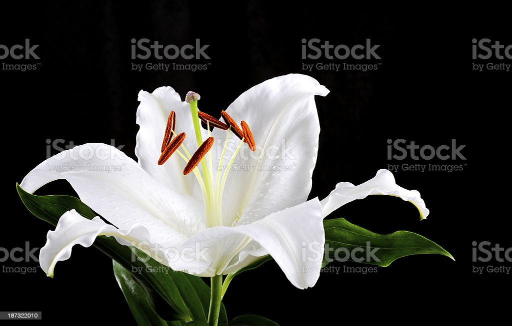 White lily with copy space royalty-free stock photo