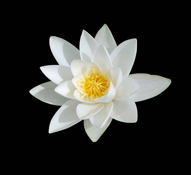 White Lily with yellow center isolated on black Water Lily,Isolated On Black water lily stock pictures, royalty-free photos & images