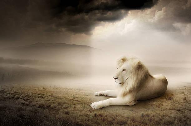 white lion bei sonnenuntergang - schönen abend bilder stock-fotos und bilder