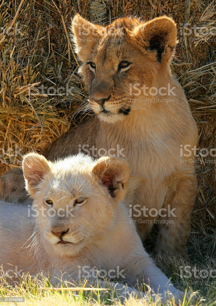 White Lion Cub 2 stock photo