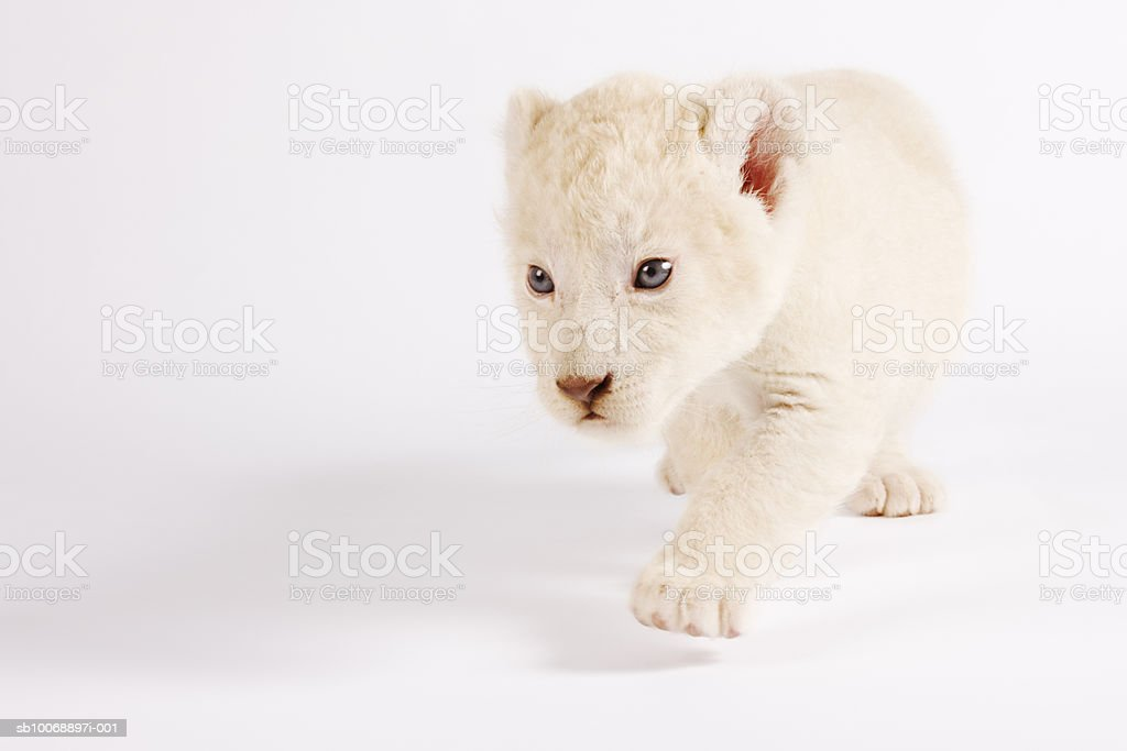 White lion cub (Panthera leo krugen) against white background, close-up Lizenzfreies stock-foto