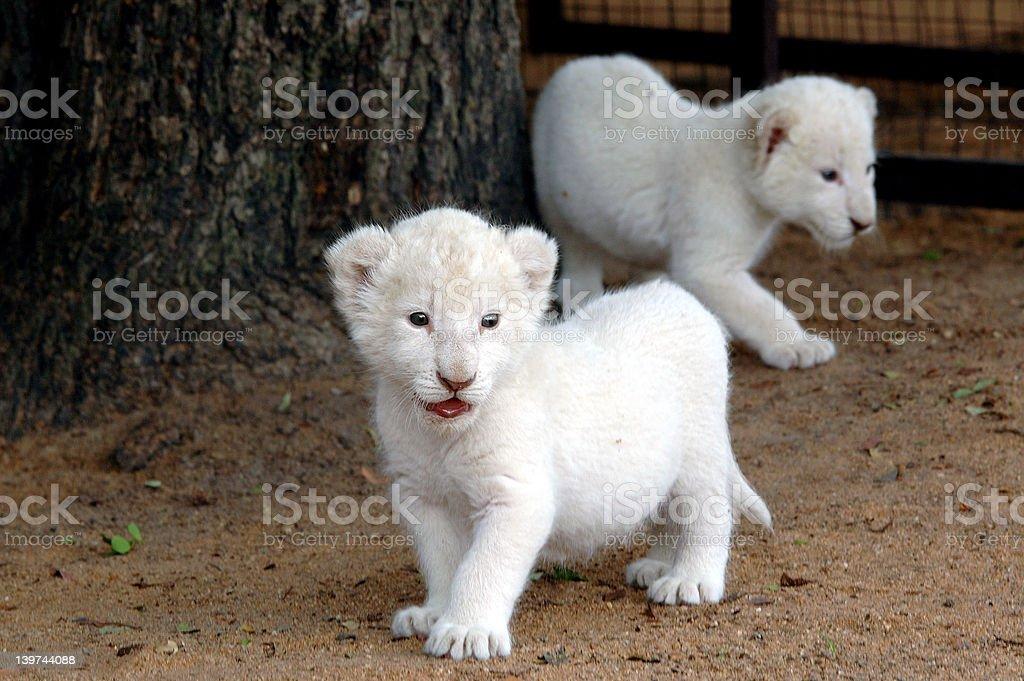 White lion cub royalty-free stock photo