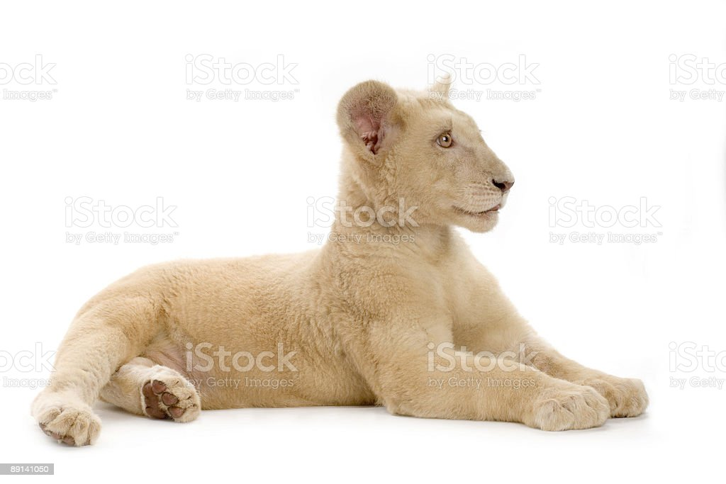 white Lion Cub (5 months) stock photo