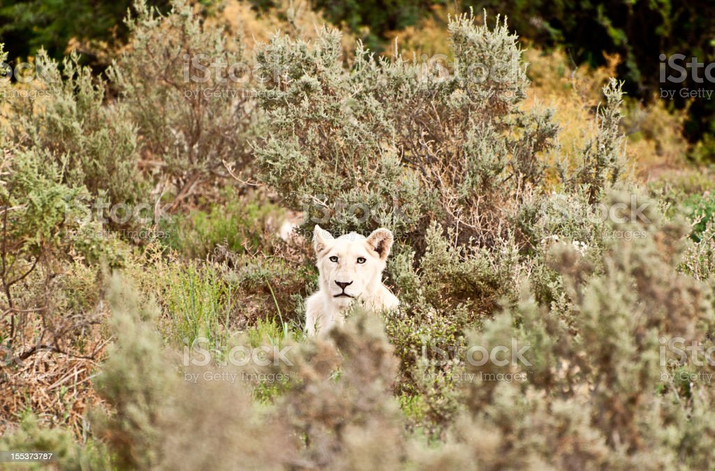 White Lion Cub Sitting in The Bush of South Africa royalty-free stock photo