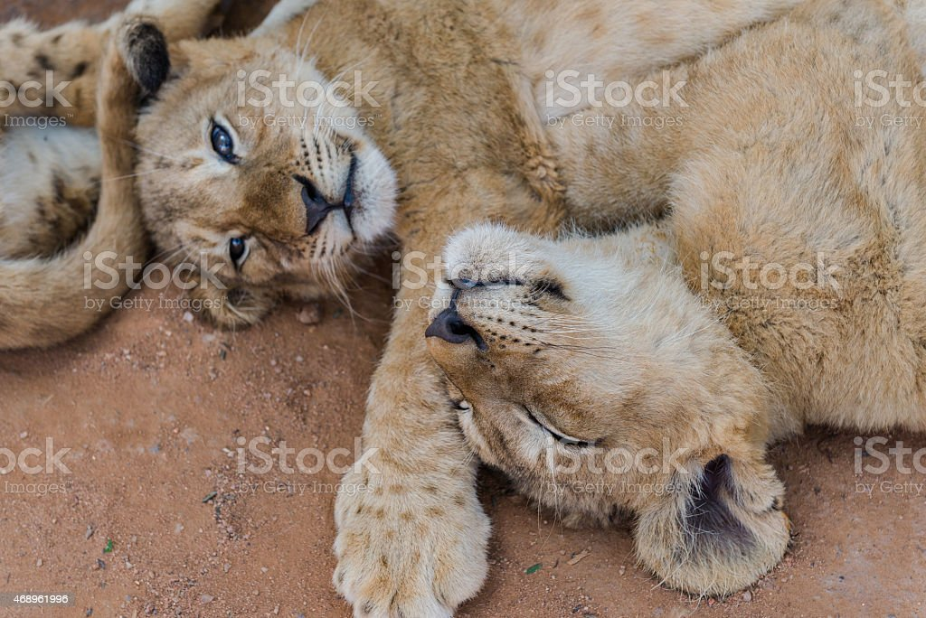 White lion cubs, South Africa. December 19, 2014 stock photo