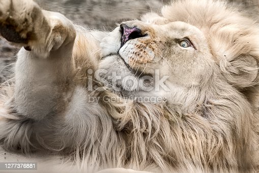 istock White lion face in playful mood close-up 1277376881