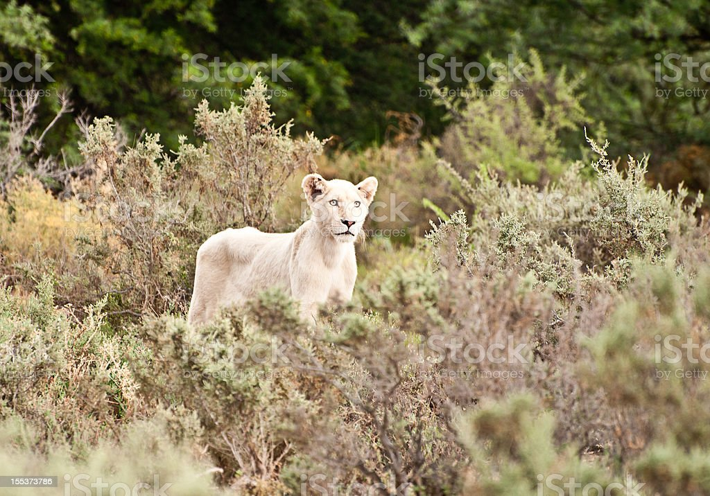 White Lion In the Wild Bush of South Africa royalty-free stock photo
