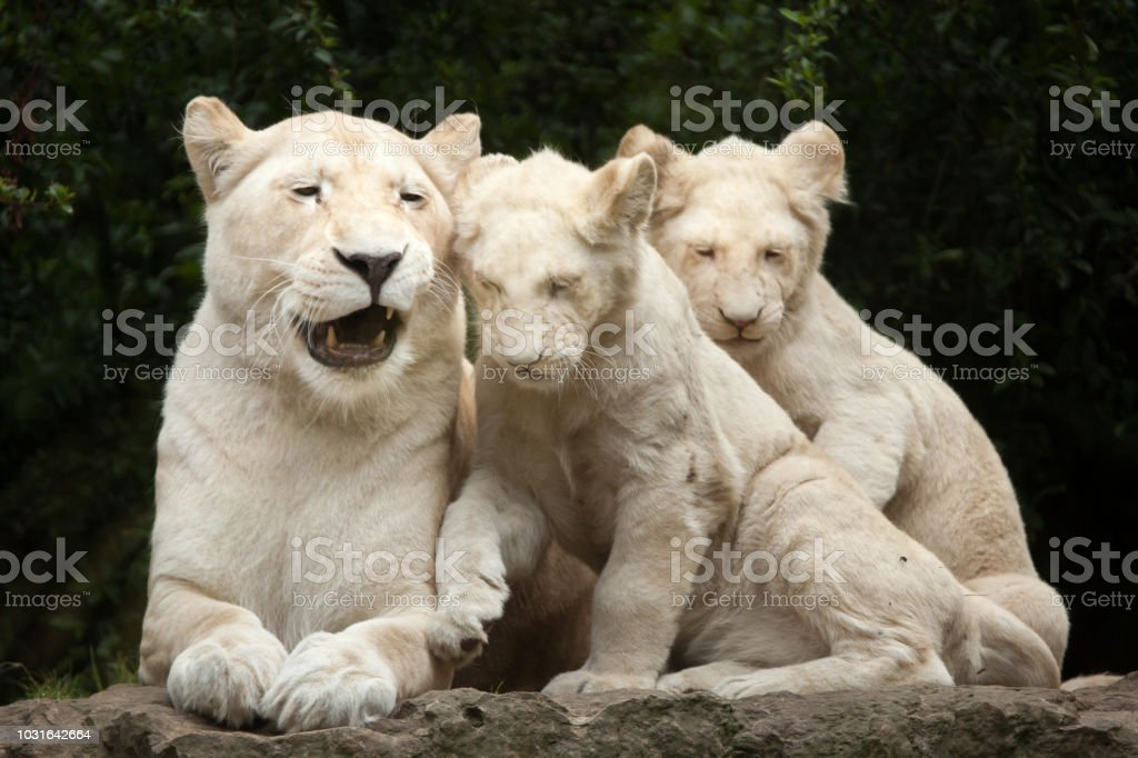 White lion (Panthera leo krugeri). stock photo
