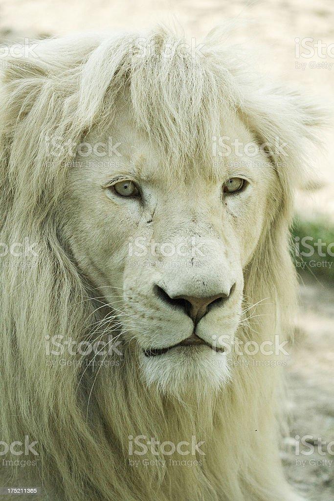 White lion royalty-free stock photo