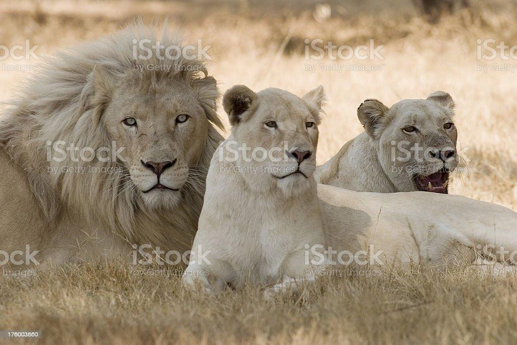 White Lions stock photo