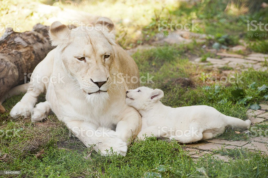 White lions stock photo