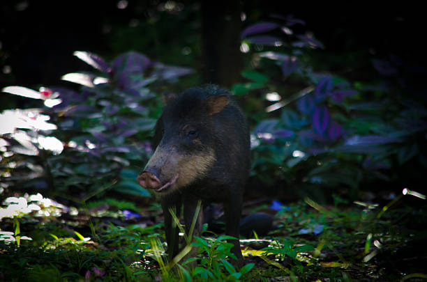 white lipped peccary in front of jungle - javelina stock pictures, royalty-free photos & images