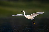 Little egret flying in nature.