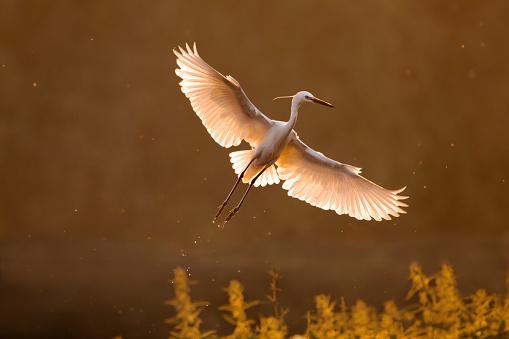 Little egret flying in nature.