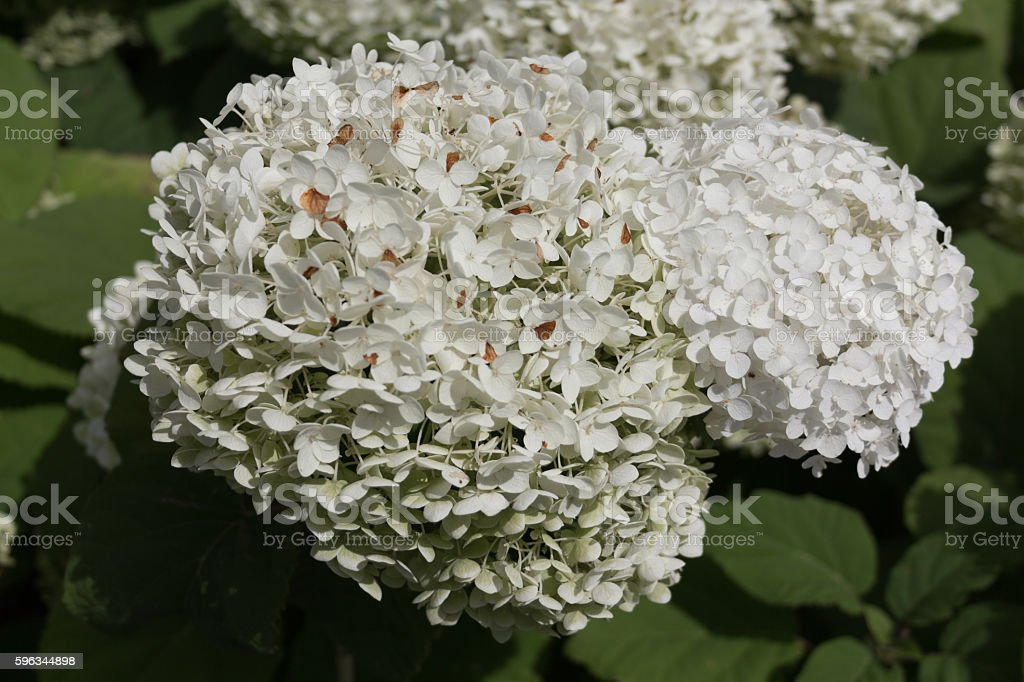 White little flowers in a bush with big leafs Lizenzfreies stock-foto