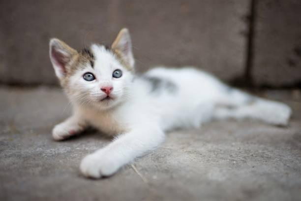 White little kitten lies on a stone floor and looks up picture id1170176565?b=1&k=6&m=1170176565&s=612x612&w=0&h=d61tjpyafgn9doxhsgm35bc8jbauyzqy0fm8clzuycm=