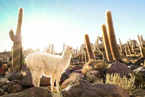 istock White llama at cactus garden by Isla Incahuasi in Salar de Uyuni - Nature wonder travel destination in Bolivia South America - Wanderlust and animal concept with wildlife lama on warm backlight filter 870195674