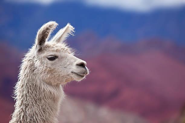 White llama in argentina south america stock photo