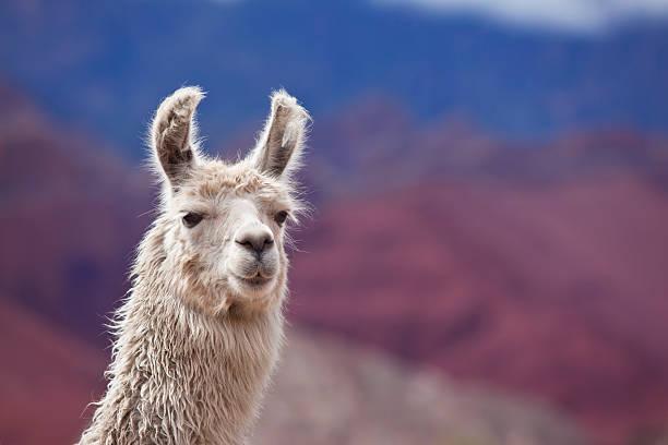 white lama in argentinien, südamerika provinz salta - lama kamelartige stock-fotos und bilder
