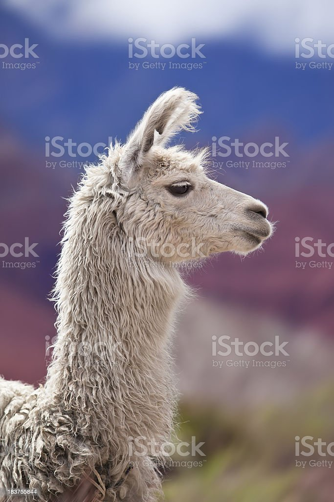 White llama in argentina south america Salta province royalty-free stock photo