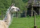 White llama in front of its barn on the farm in England