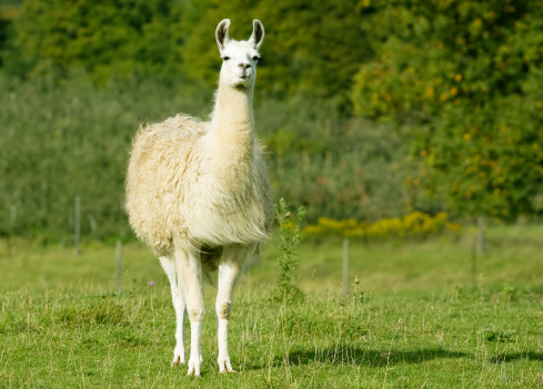 A white llama stands in a farm field.The llama (Lama glama) is a South American camelid which has been used as a pack and meat animal by Andean cultures and is also used as a livestock guard in North America.  Llamas are curious but friendly  and can be easily trained.  A full-grown llama can be about  1.7 meters (5.5 ft) tall at the top of the head and can weigh about 300 lb.The fine undercoat of a llama may be used to make wools for handicrafts and garments while the outer guard hair which is courser may be used for rugs.