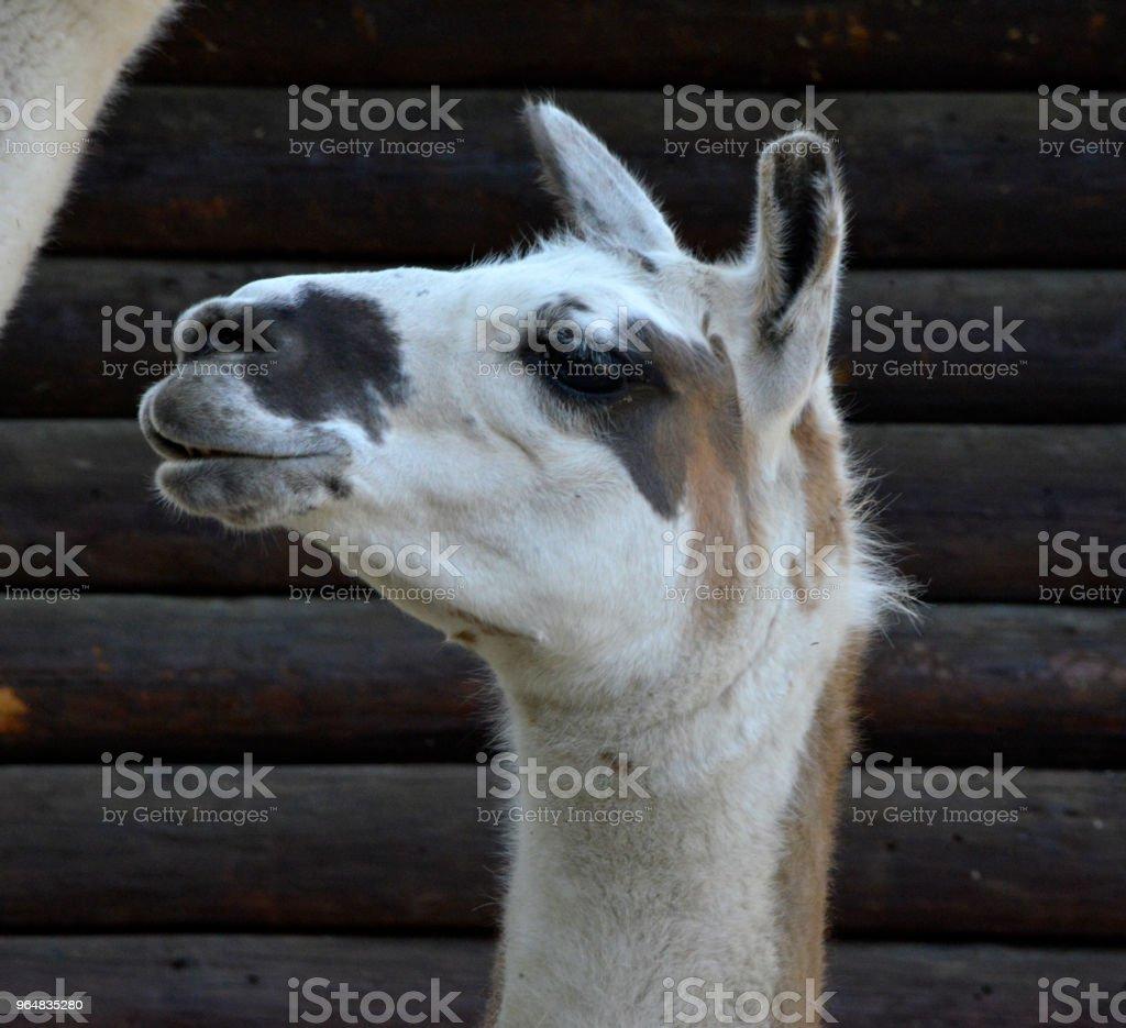 White llama portrait royalty-free stock photo