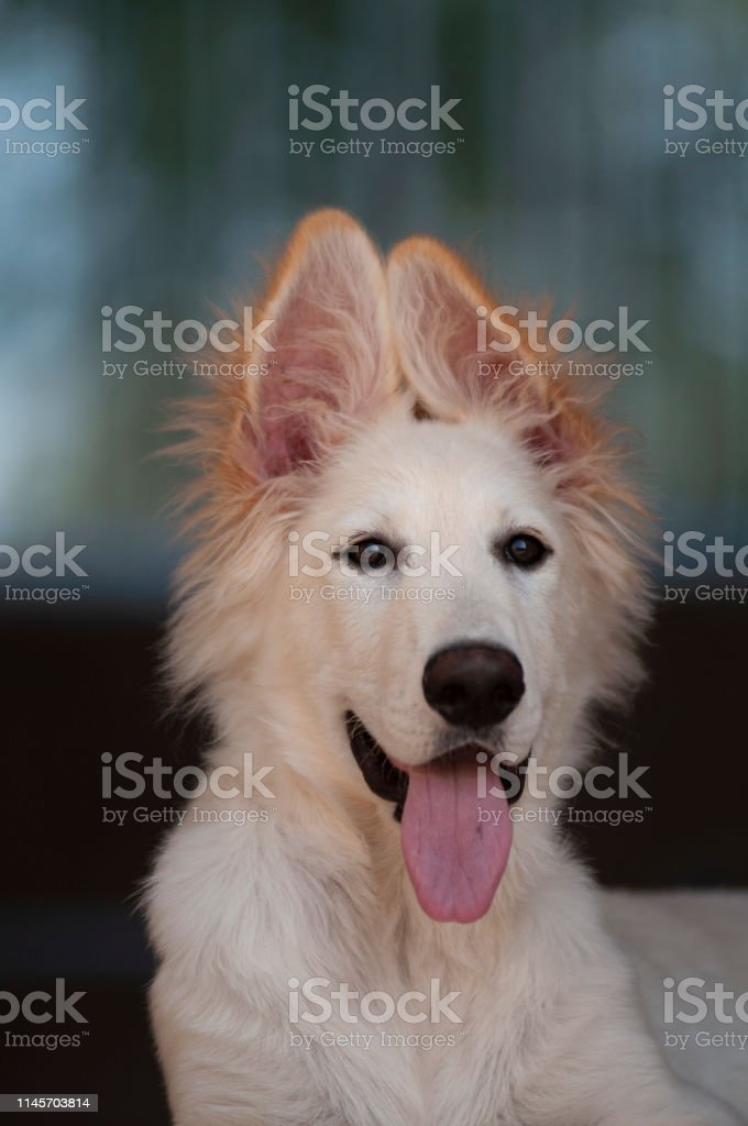 White Long Haired German Shepherd Puppy Stock Photo Download Image Now Istock