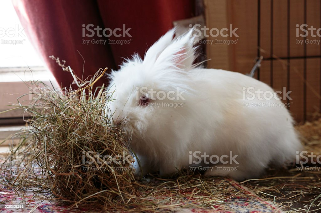 White long haired rabbit eating hay stock photo