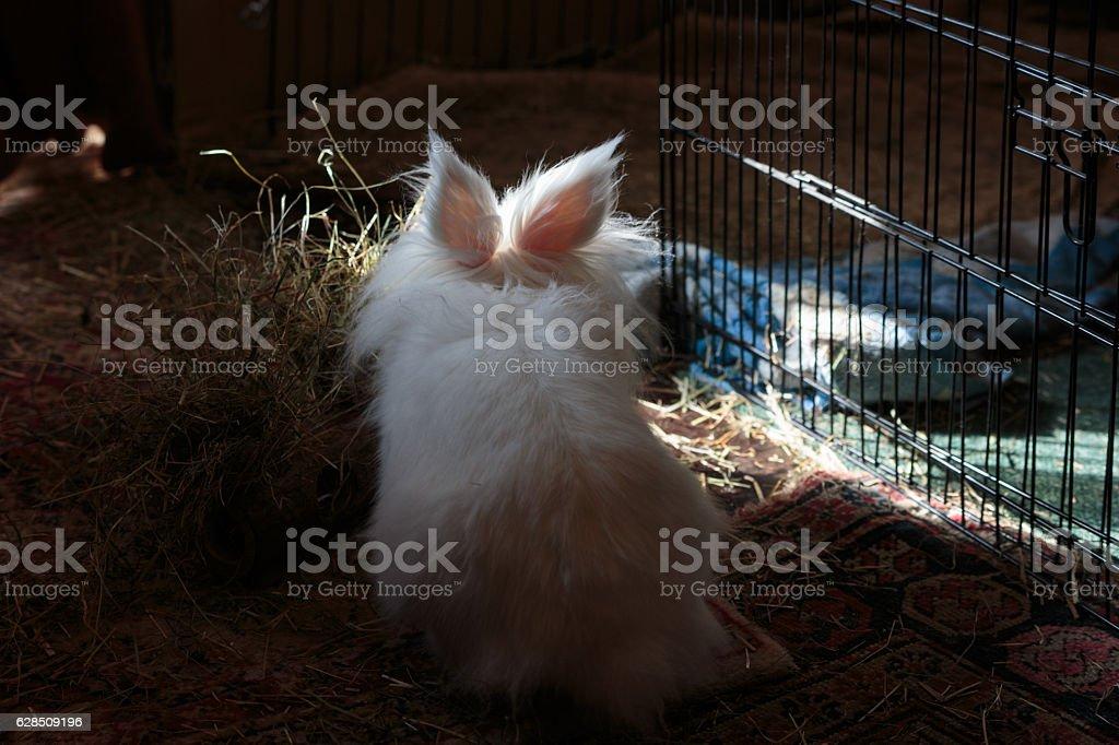 White long haired rabbit indoors stock photo