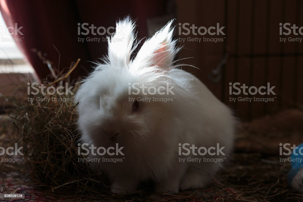 White long haired rabbit looking at the camera stock photo