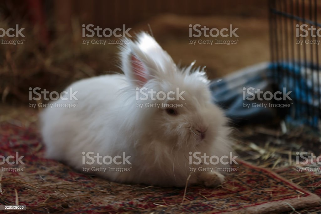 White long haired rabbit relaxed on a tatty old rug stock photo