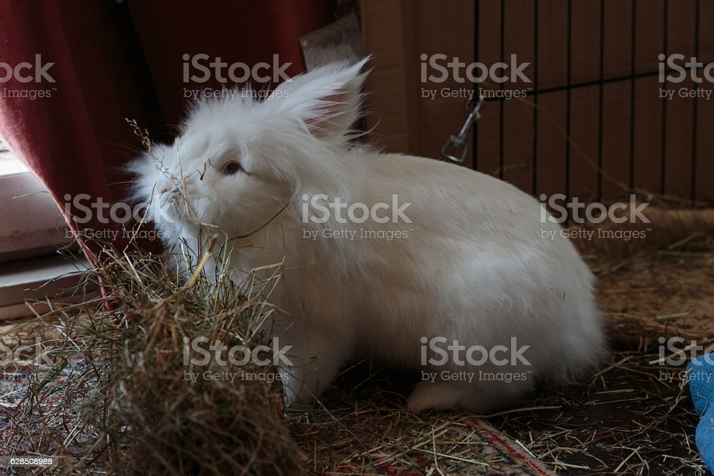 White long haired rabbit siffing hay stock photo