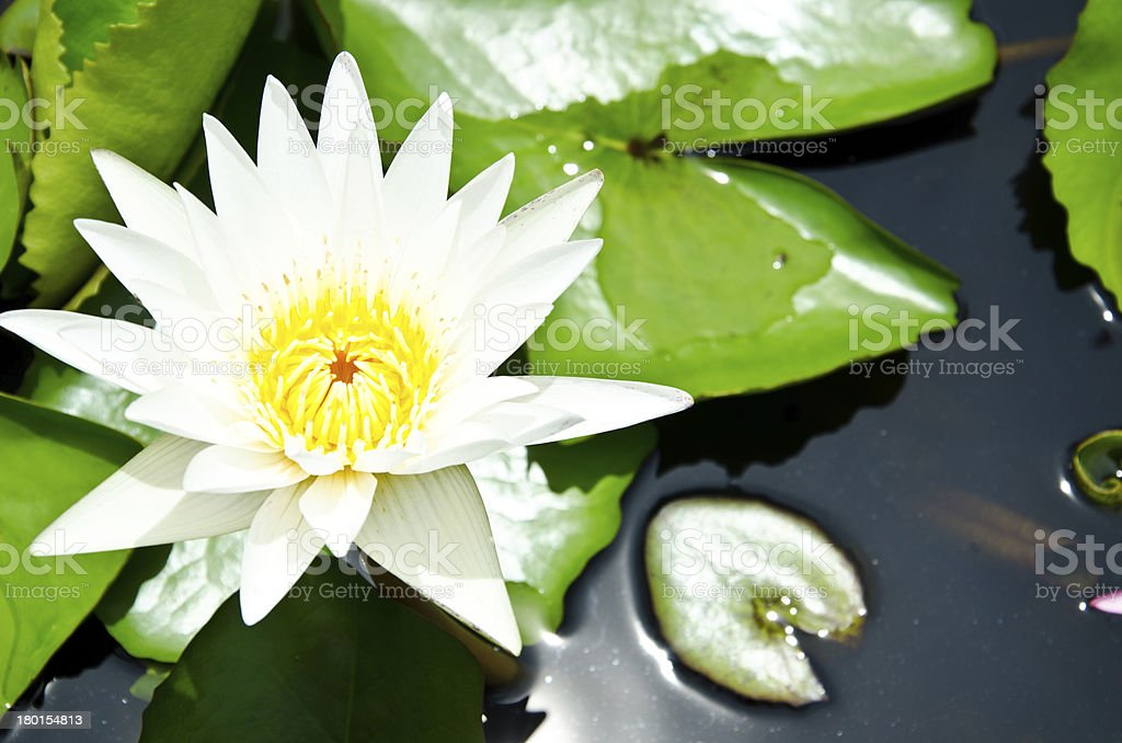 White lotus blooming in the sink stock photo