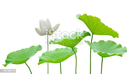 White lotus flower and leaves isolated on white background