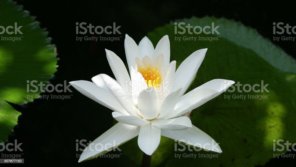 white lotus flower blossoming stock photo