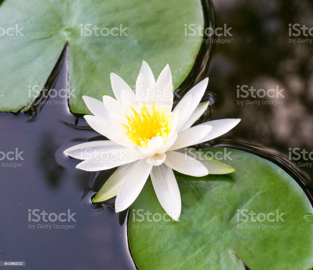 A White Lotus Flower In Full Bloom And Lily Pads Floating In A Pond